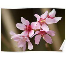 Okame Cherry Blossom Poster
