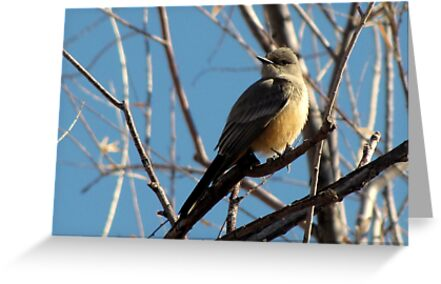 Say's Phoebe ~ Adult by Kimberly Chadwick