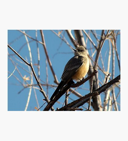 Say's Phoebe ~ Adult Photographic Print