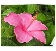 Pink Hawaiian Plumeria Poster