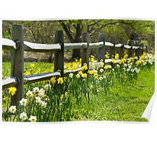 Daffodil Fence Poster