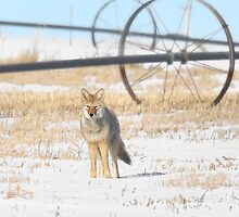 Coyote on the Prairies by Patrick Kavanagh
