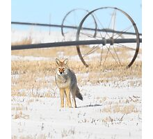 Coyote on the Prairies Photographic Print