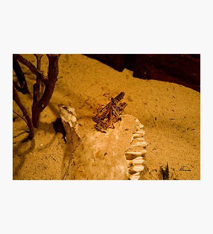 Locust mating Photographic Print