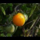 Tomato by RosiLorz