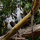 Two Kookaburra's Laughing at YOU! by Gabrielle  Lees