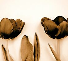 Sepia Tulips by Friederike Alexander