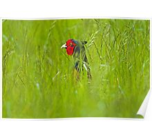 Cock Pheasant in long grass. Poster