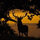 Red deer stag at dawn  by Richard Bowler