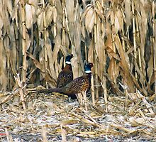 In the Corn by kdg2day