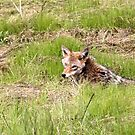 Coyote in The Grass.. by RichImage