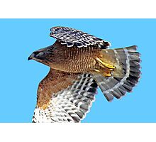 Red-shouldered Hawk Cruising Along  Photographic Print