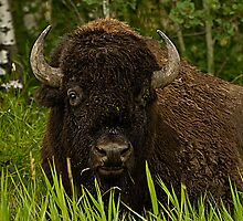 Bison Bull in the grass by ArianaMurphy