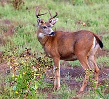 trophy buck by camera... by RichImage