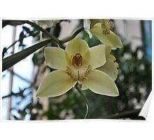 Pale Yellow Orchid Poster