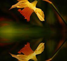 daffodill reflection by Rodney55