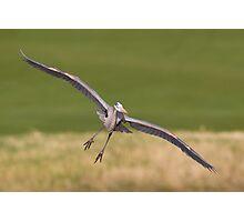 GB Heron in Flight 3 Photographic Print