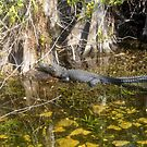 Everglades Alligator by David Lee Thompson