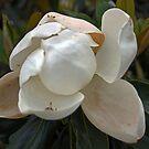 Magnolia No 1 by eruthart