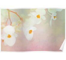 White Begonias Poster