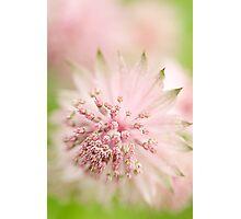 Pink Astrantia Photographic Print