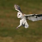 Barn owl by Rob Lavoie