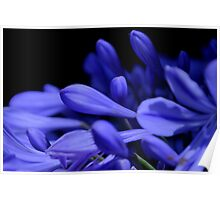 Agapanthus Blues Poster