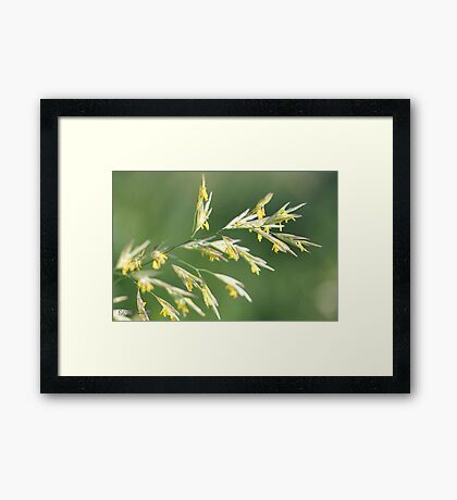 Flowering Brome Grass Framed Print