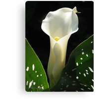 Zantedeschia named Little Jimmy Canvas Print