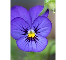 Viola named Sorbet Blue Heaven Jump-Up Photographic Print