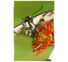 butterfly and Nectar Poster