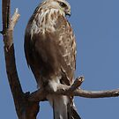Juvenile Rough-legged Hawk by tomryan