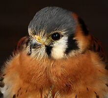 American Kestrel by Mark Hughes