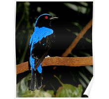 I'm So Beautiful  (Asian Fairy Bluebird) Poster