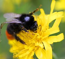 The red tailed bumble by tanyadann