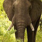 elephant by petraE