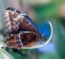 Blue Morpho Butterfly by Jacky Parker