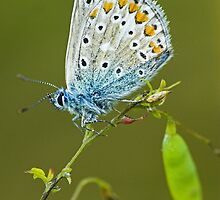 Common blue butterfly 2 by Richard Bowler