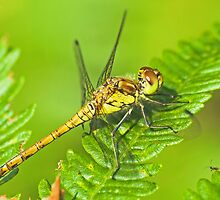 Female common darter dragonfly by Richard Bowler