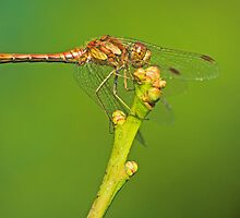 Male common darter dragonfly by Richard Bowler