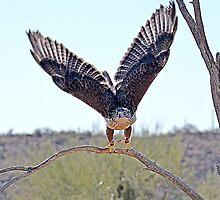 Ferruginous Hawk Take -Off  by Judy Grant
