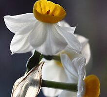 Narcissus by Leslie Guinan