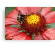 Bee on Firewheel Canvas Print