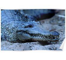 Freshwater Crocodile Poster