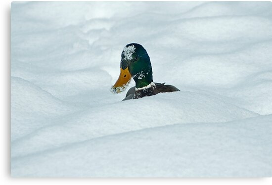 The Savage Canadian Snow Duck by Mike Oxley