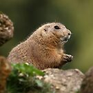 Prairie Dog by Mark Hughes