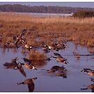 Geese in flight by dandefensor