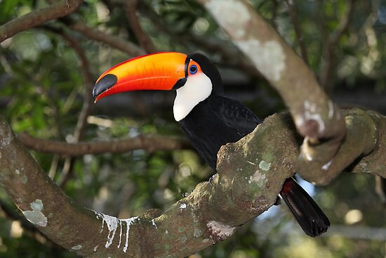 Toco Toucan by Paul Duckett