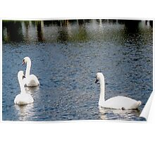 Swans on a shiny lake Poster