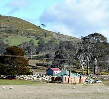 sheep farming , Bothwell, Tasmania, Australia by Margaret  Hyde